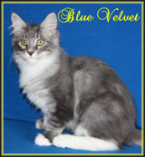 blue classic tabby white Maine Coon Kitten