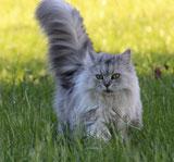 maginfique-chat-siberien-queue-dressee
