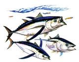 pêche de la bonite en mer