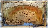 Naturwabenbau mit Futter, Pollen, Arbeiterinnenbrut  und Drohnenbrut