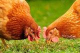 poules en plein air qui picorent