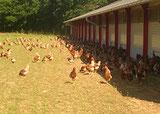 poules qui sortent du poulailler
