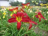 赤色剣弁大輪オリジナル実生花