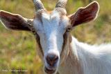 Wir schon. Ziegen und Schafe fressen für die Artenvielfalt