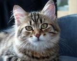 Publititicys Rose, Sibirische Katze