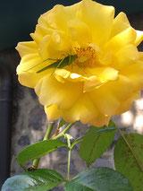 Gelbe Rose mit Grashüpfer