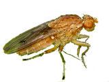 Die Trüffelfliege ist ein Trüffelbaumschädling und ein Trüffelsuchernützling