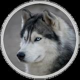 chien male husky yeux bleus