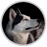 chien loup femelle husky