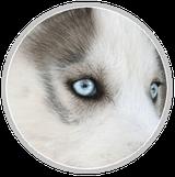husky siberien race chien loup