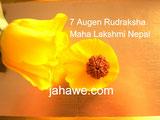 7 Augen Rudraksha