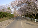 佐倉城址公園入り口の桜並木