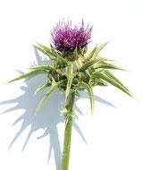 Heilpflanze, Mariendistel