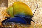Bei einem gesunden Gehäusewachstum ist die Schale glatt (Foto oben), während sich bei einem zu schnellen Wachstum die Schale schraffiert (kleines Foto). Foto: Holger Haake