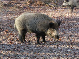 Wildschwein (Foto: O. Gellißen)