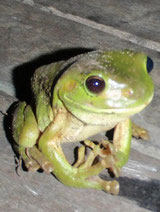 Green Frog, Airlie Beach, Australia.