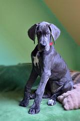 un chiot dogue allemand noir assis sur un tapis par coach canin 16 éducateur canin en charente