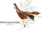 BiHU Vogelführer Natur Hergenrath Mönchsgrasmücke