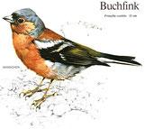 BiHU Vogelführer Natur Hergenrath Völkersberg Buchfink