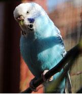 normal blau, opalin (Klara)