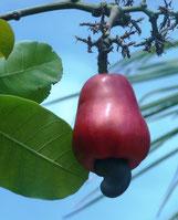 Frucht des Cajueiro mit Nuss