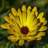 Gelbe Ringelblume. Siegfried Beiser Photography