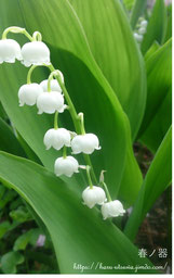 鈴蘭 スズラン 幸せを運ぶ花