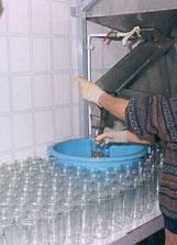 Abfüllen der Arbequina-Oliven