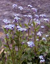 fleur de montagne - appartement myosotis