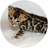 Actualités sur le chat Bengal - Elevage Tribal Bengal