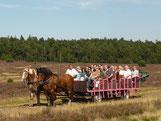 Eine Gruppe fährt mit zwei Kutschen mitten durch die blühende Heide.