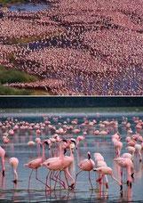 fenicotteri Lake Nakuru in2kenya safari watamu kenya