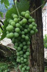 uva-pecorino