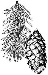 Englemann spruce, Picea engelmannii