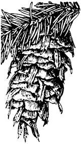 Douglas fir, Pseudotsuga menziesii