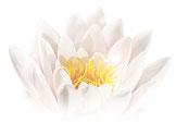 Seerose, Quell des Lebens, reine Liebe