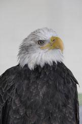 A live American Eagle | SC