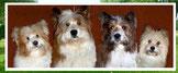 Familienhunderasse Elo Welpe