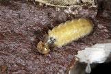 Lamprohiza mulsanti de jour