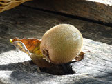 Des kiwi aux couleurs d'automne