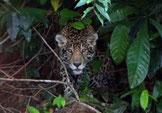 Jaguar observé sur le lac de Petit Saut Nature de Guyane
