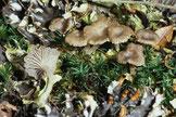 Flechte-Peltigera didactyla in Symbiose mit Arrhenia rickenii