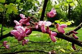 Judasbaumblüte