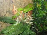 Weißlippen-Bambusotter