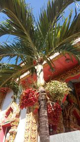 Palmier et ses fruits