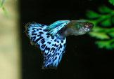Paracyprichromis nigripinnis blue neon albino F2