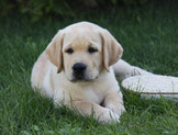 "Sunshine Diamonds All I Want ""Charly"" (Puppy from our A-Litter) nearly 10 weeks ! Thank you Karin for this lovely photo <3"