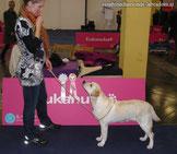 Labrador Retriever Welpen