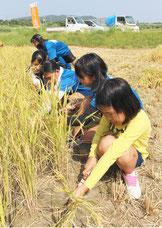 稲刈り体験に汗を流す八島小学校の6年生児童=4日午前、市内平得の耕作地