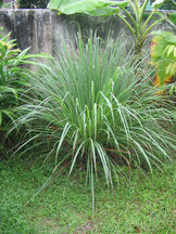 Huile essentielle de Citronnelle de Java - Cymbopogon winterianus